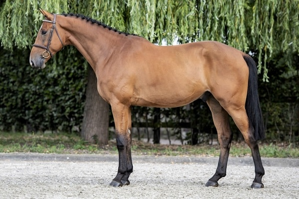 Dutch Warmblood horse breed for jumping