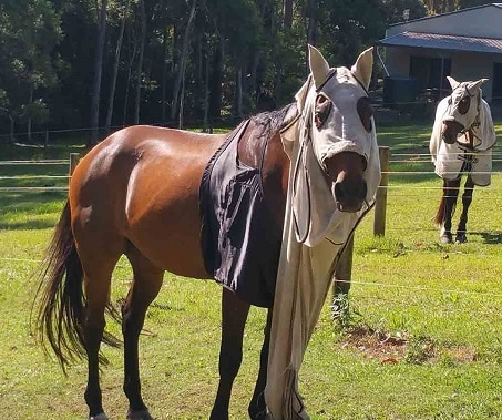 Horse with a ripped fly rug
