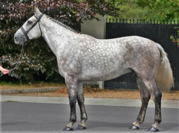 Dapple grey Irish Sport Horse breed