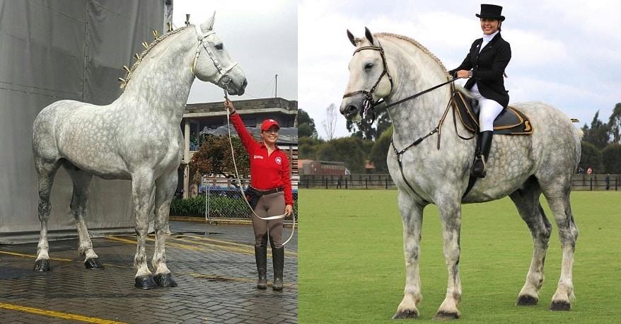 Two gorgeous grey Percheron horses