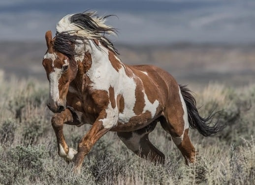 Picasso wild mustang horse