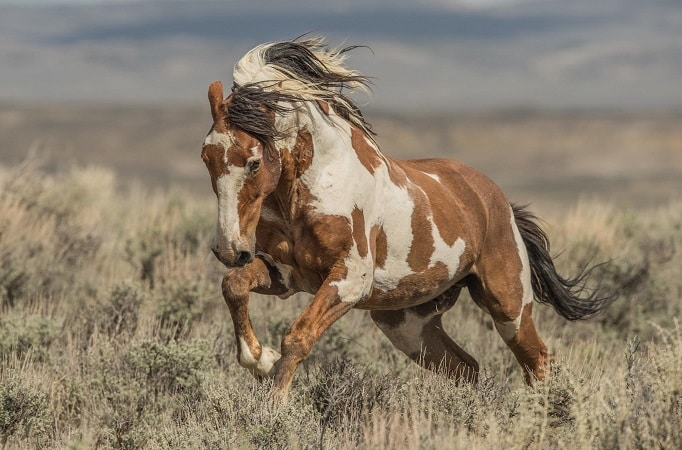 Picasso Wild Mustang horse of the Sand Wash Basin