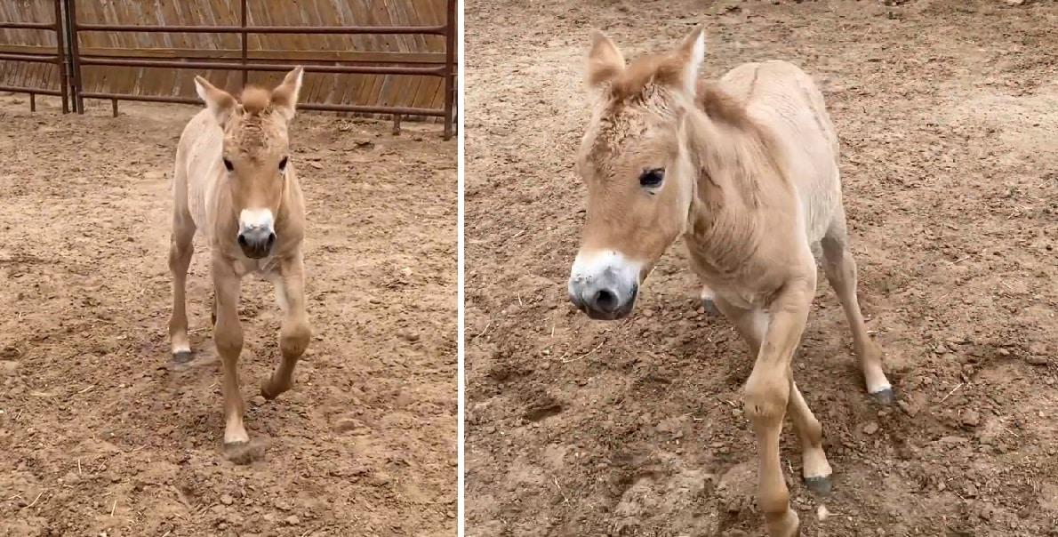 Rare Cloned Przewalski Horse Foal