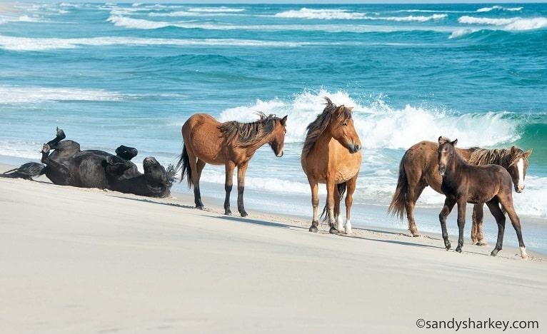 Sable Island wild horses on the beach