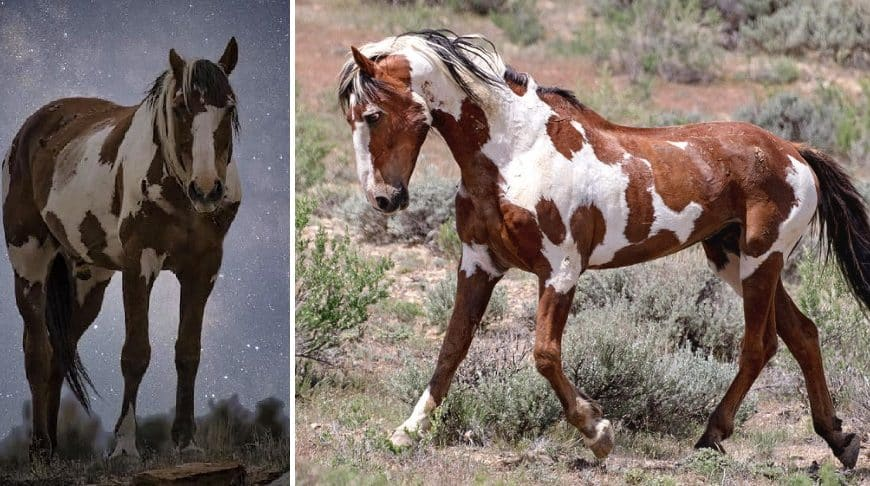 Beautiful wild horse called Picasso