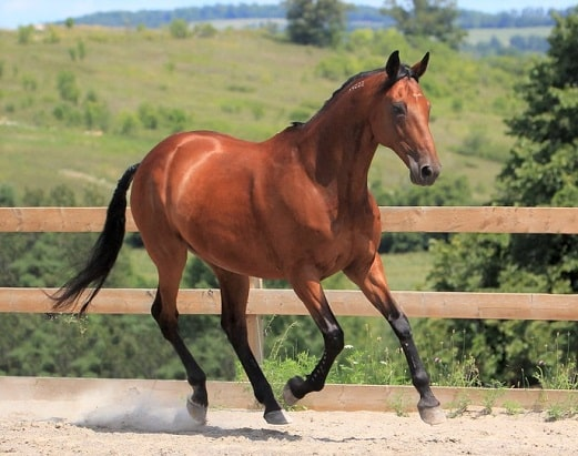 American Standardbred horse running in a ménage