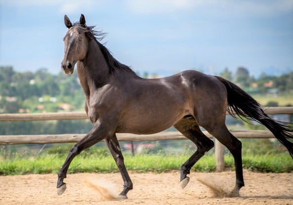 Thoroughbred horse trotting in a menage