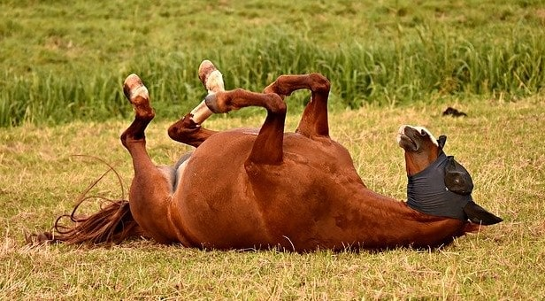Horse rolling in the mud