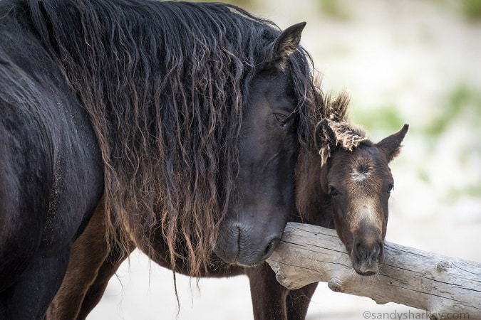 Stallion and foal on Sable Island