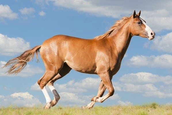 American Quarter horse - Good horse breed for trailer riding