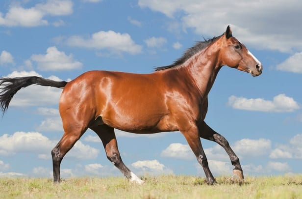 American Quarter Horse, the fastest horse breed over short distances