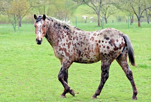 Appaloosa horse in a field grazing