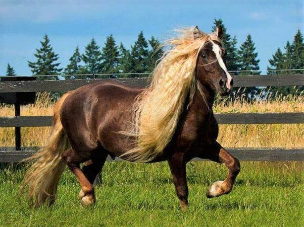 Rare Black Forest horse breed from the Black Forest in Germany