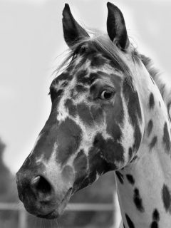 Beautiful black and white spotted horse breed