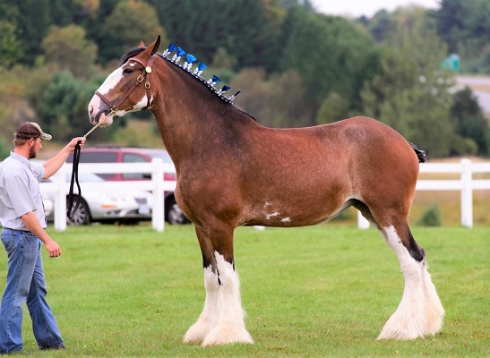 Clydesdale work horse breed at a country horse show