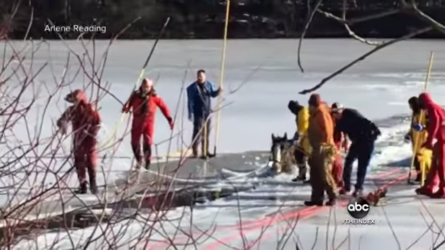 Two Clydesdale horses being rescued and cut free from ice
