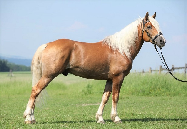 Palomino Haflinger draft horse breed