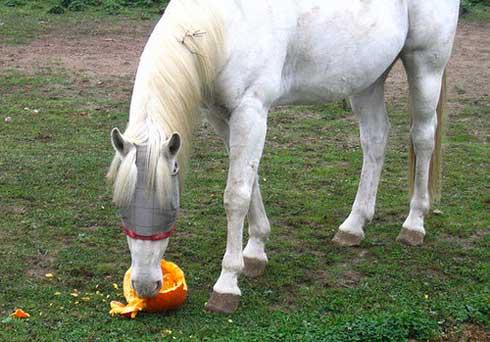 Horse eating a pumpkin