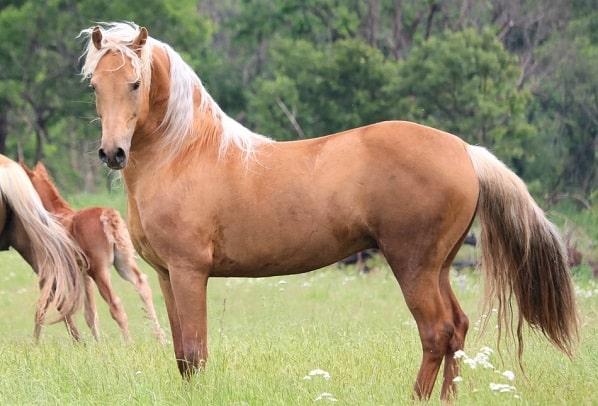 Palomino Morgan horse - Good horse breed for trail riding