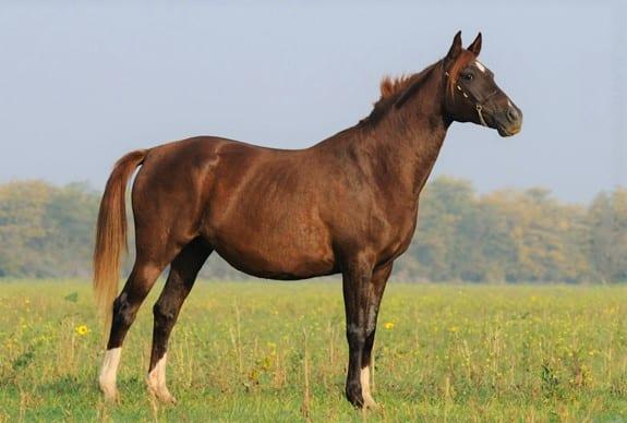 Chestnut Russian Arabian mare