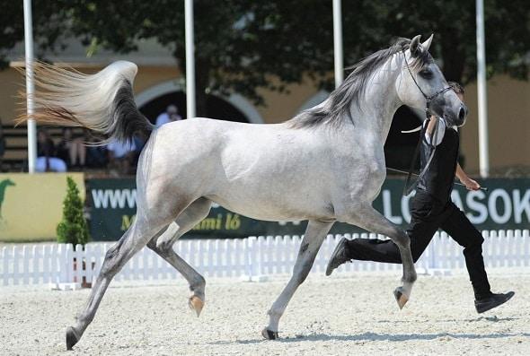 Grey Shagya Arabian horse trotting in the show ring