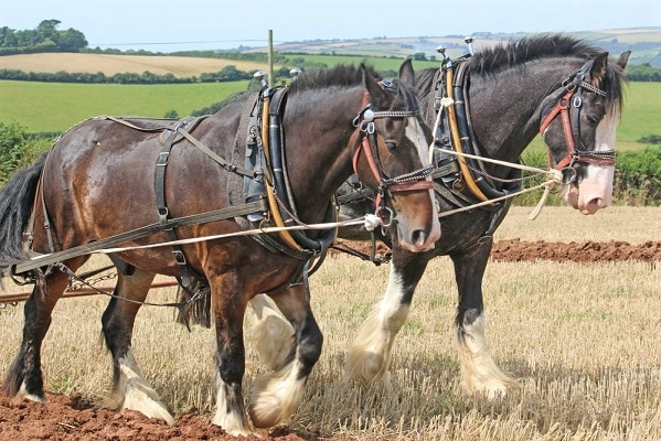 Shire work horses ploughing a field
