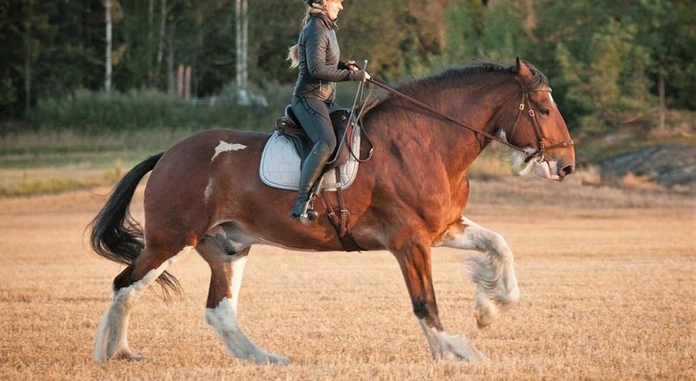 Shire war horse breed from medieval times