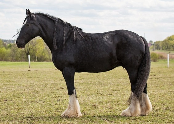 Big black Shire horse breed, traditionally used to warfare and farm in England