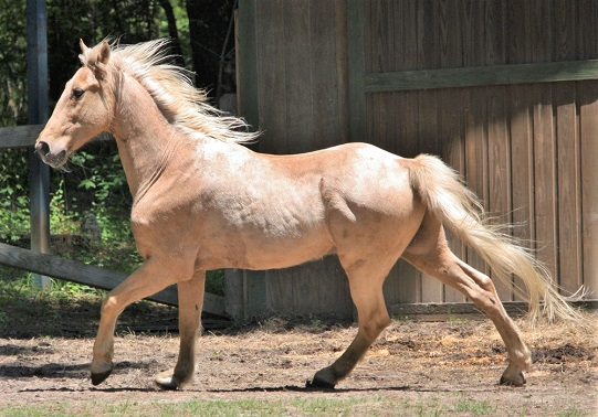 Tennesse Walking Horse - One of the most popular horse breeds in America