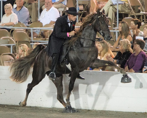 Tennessee Walking horse with soring equipment on