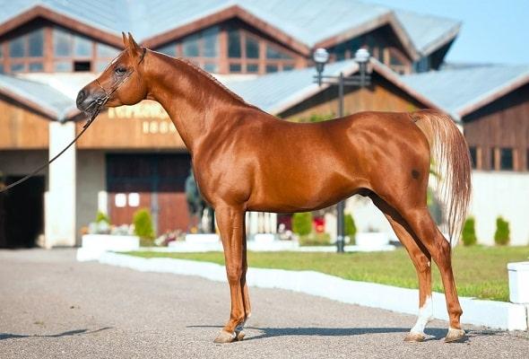 Arabian horse stallion chestnut