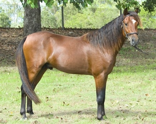 Caspian horse, the oldest horse breed in the world