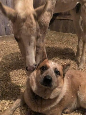 Dog and foal comforting each other in a stable