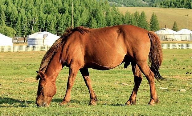 Mongolian horse grazing in a field