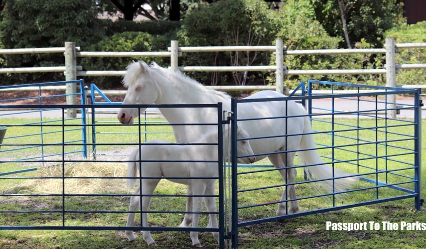 New Cinderella pony standing in a pen with her mother