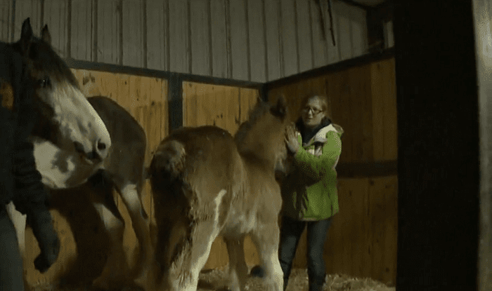 Clydesdales saved from barn fire by teen