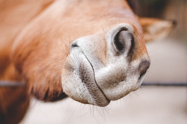 Horse with long whiskers asking for a treat