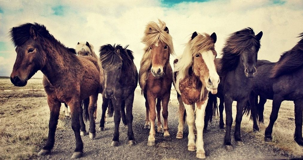 Icelandic horse, oldest horse breeds in the world
