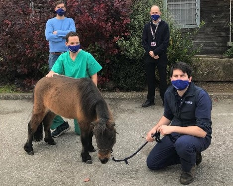 Miniature horse hip replacement
