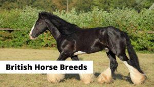 Common native English and British horse breeds