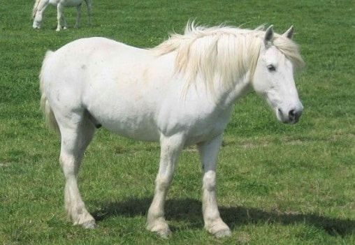 White Camargue wild horse breed native to France