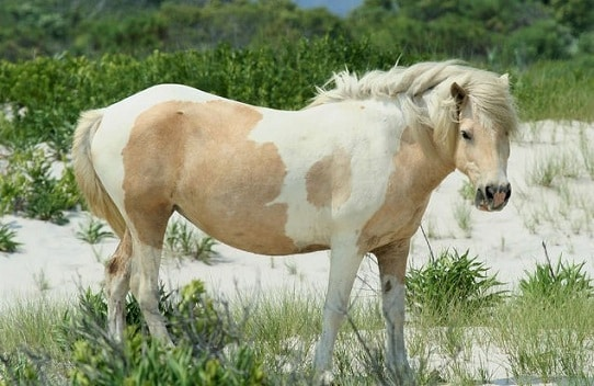 Chincoteague Pony, palomino and white colored feral horse in America