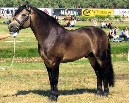 Connemara pony breed stallion for kids