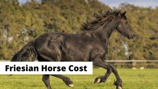 Friesian horse breed cost. How much does a Friesian horse coast?