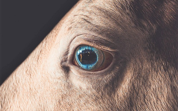 Brown horse with a bright blue eye