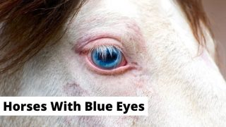 White horse blue eyes close-up. horses with blue eyes breeds, colors, facts.