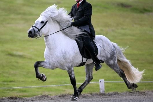 Icelandic horse breed doing the tolt gait