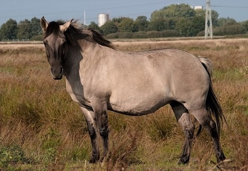 Konik wild Polish horse breed