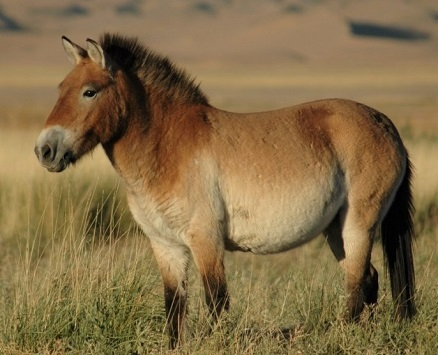 Przewalskis feral horse standing in the wild