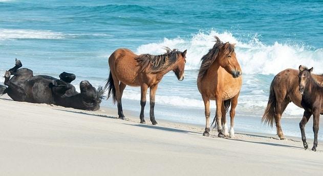 herd of wild Sable Island horses on a beach